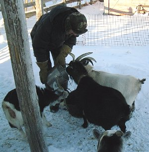 Feeding the goats their sweet feed