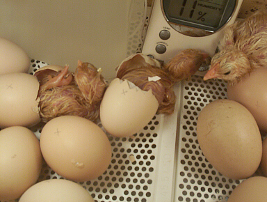 Chicks hatching